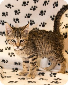 Domestic Shorthair Kitten for adoption in Martinsville, Indiana - Florence