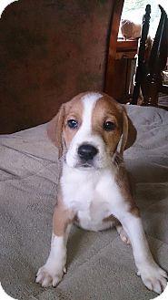 Treeing Walker Coonhound Mix Puppy for adoption in Charlestown, Rhode Island - Charlie Brown
