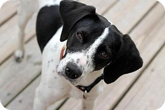 Beagle/Pointer Mix Dog for adoption in New Smyrna beach, Florida - Lacy