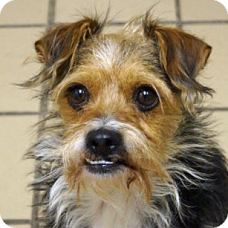 Yorkie, Yorkshire Terrier Mix Dog for adoption in Eatontown, New Jersey - Pilot