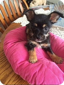 Chihuahua Mix Puppy for adoption in Avon, New York - Abby