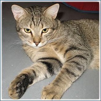 Domestic Shorthair Cat for adoption in Midway City, California - Ian