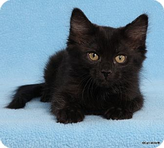 Domestic Longhair Cat for adoption in Las Vegas, Nevada - Worthington