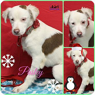 Collie/Australian Shepherd Mix Dog for adoption in Streetsboro, Ohio - pasley
