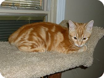 Domestic Shorthair Kitten for adoption in Royal Oak, Michigan - Orange Blossom