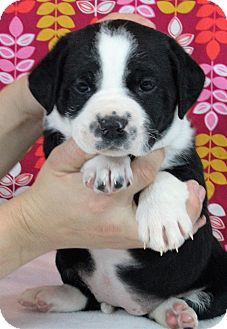 Bernese Mountain Dog/Shepherd (Unknown Type) Mix Puppy for adoption in Starkville, Mississippi - Katniss