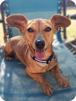 Dachshund/Chihuahua Mix Dog for adoption in Allentown, Pennsylvania - Boots