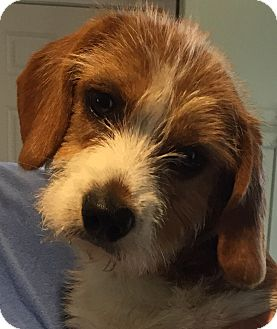 Schnauzer (Standard)/Corgi Mix Puppy for adoption in HARRISBURG, Pennsylvania - DAPHNE