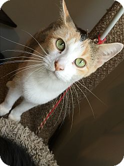 Calico Cat for adoption in Hanna City, Illinois - Lila