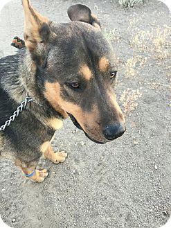 German Shepherd Dog/Rottweiler Mix Dog for adoption in Reno, Nevada - Deuce