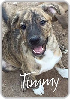 Catahoula Leopard Dog Mix Puppy for adoption in DeForest, Wisconsin - Timmy