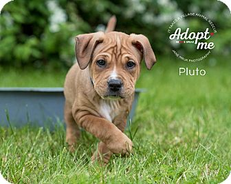 Boxer/Shepherd (Unknown Type) Mix Puppy for adoption in Middletown, Delaware - Pluto