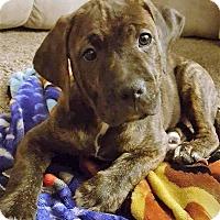 Adopt A Pet :: Tracer - Schaumburg, IL