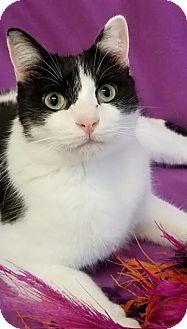 Domestic Shorthair Cat for adoption in Colfax, Iowa - Camilla