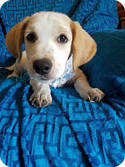 Labrador Retriever Mix Puppy for adoption in Burlington, Vermont - Sonny (see video)