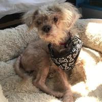 Adopt A Pet :: Gertie - San Francisco, CA