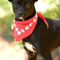 Adopt A Pet :: Steve - Redondo Beach, CA