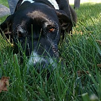 Great Dane Dog for adoption in St. Louis, Missouri - Daisy