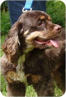 Cocker Spaniel Dog for adoption in Sugarland, Texas - Cisco