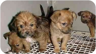 Terrier (Unknown Type, Medium) Mix Puppy for adoption in North Judson, Indiana - 4 Terrier Mix Pups