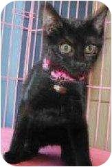Domestic Shorthair Cat for adoption in Houston, Texas - Mellisa
