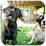 Photo 2 - Labrador Retriever/Mastiff Mix Dog for adoption in Howell, Michigan - Monty - video