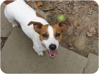 Jack Russell Terrier Dog for adoption in Killingworth, Connecticut - Jake