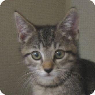 Domestic Shorthair Kitten for adoption in Hamilton, New Jersey - LUPA