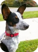 Australian Cattle Dog/Corgi Mix Puppy for adoption in Garden City, Michigan - Bowser
