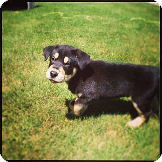 Shepherd (Unknown Type)/Labrador Retriever Mix Puppy for adoption in New Oxford, Pennsylvania - Durango