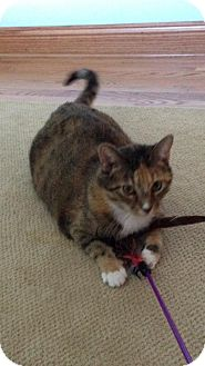Domestic Shorthair Cat for adoption in West Dundee, Illinois - Tinker