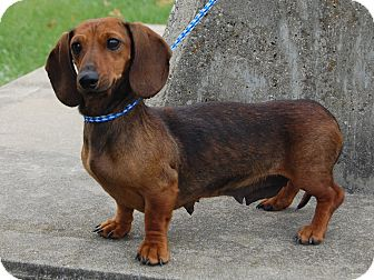 Dachshund Dog for adoption in North Judson, Indiana - Pepsi
