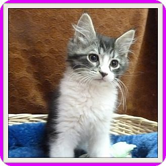 Domestic Shorthair Kitten for adoption in Glendale, Arizona - Siete