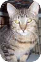 Domestic Shorthair Kitten for adoption in tucson, Arizona - Shortie