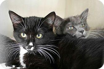 Domestic Mediumhair Kitten for adoption in Montclair, California - Blade