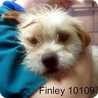 Cairn Terrier Mix Dog for adoption in Greencastle, North Carolina - Finley