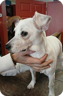 Jack Russell Terrier Mix Dog for adoption in Hagerstown, Maryland - Sugar (DC)
