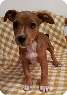 Jack Russell Terrier/Feist Mix Puppy for adoption in Windham, New Hampshire - Kissy