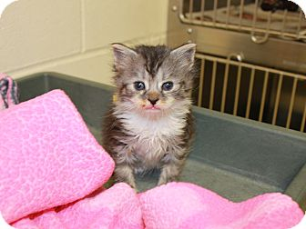 Domestic Mediumhair Kitten for adoption in Windsor, Virginia - Flint