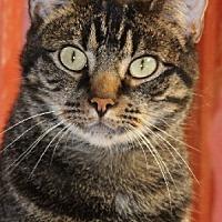 Domestic Shorthair Cat for adoption in Savannah, Missouri - Ricky