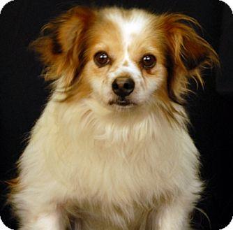 Chihuahua Mix Dog for adoption in Newland, North Carolina - Sega
