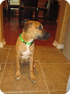 Shepherd (Unknown Type) Mix Puppy for adoption in San Antonio, Texas - Charlie