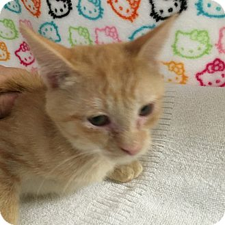 Domestic Shorthair Kitten for adoption in Fountain Hills, Arizona - ECLYPSE
