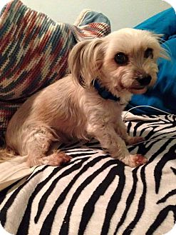 Maltese/Yorkie, Yorkshire Terrier Mix Dog for adoption in Metairie, Louisiana - Emmy
