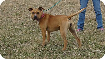 Pit Bull Terrier Mix Dog for adoption in Cameron, Missouri - JEWELL