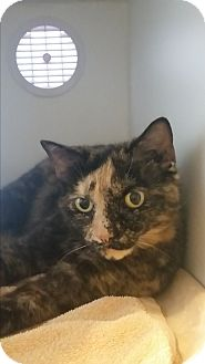 Domestic Shorthair Cat for adoption in Nashville, Tennessee - Marbles