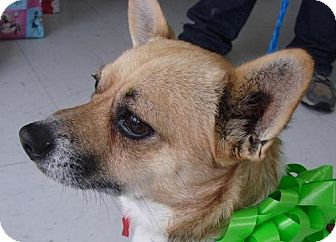 Chihuahua/Corgi Mix Dog for adoption in Erwin, Tennessee - Pippin