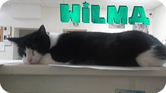 Domestic Shorthair Cat for adoption in Trevose, Pennsylvania - Wilma