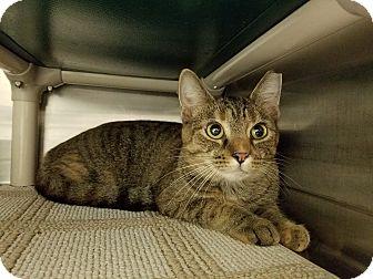 Domestic Shorthair Cat for adoption in Elyria, Ohio - Tam