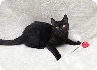 Domestic Shorthair Kitten for adoption in Lexington, North Carolina - MAVIS